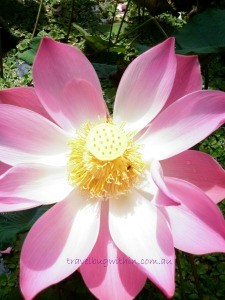 My Balinese Lotus flower capture (with travel bug!)
