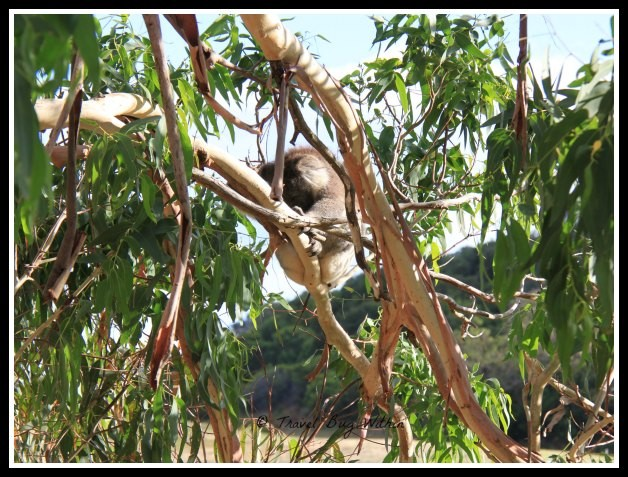 A native koala rests in a eucalyptus tree