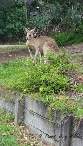 Spied this roo feeding on the grass on someone's footpath