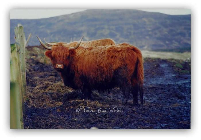 Scotland Highland cows(1)
