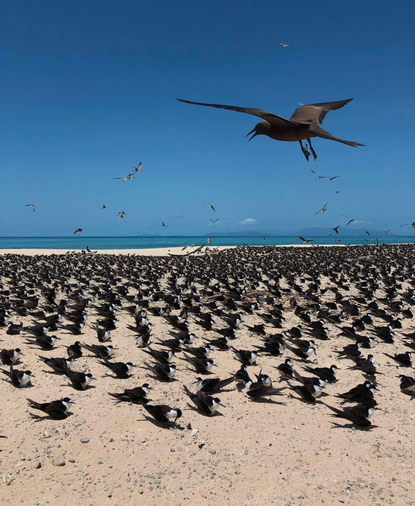 Hundreds of black birds on a sandy island