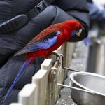 Crimson Rosella bird perched on a fence with seed in his beak