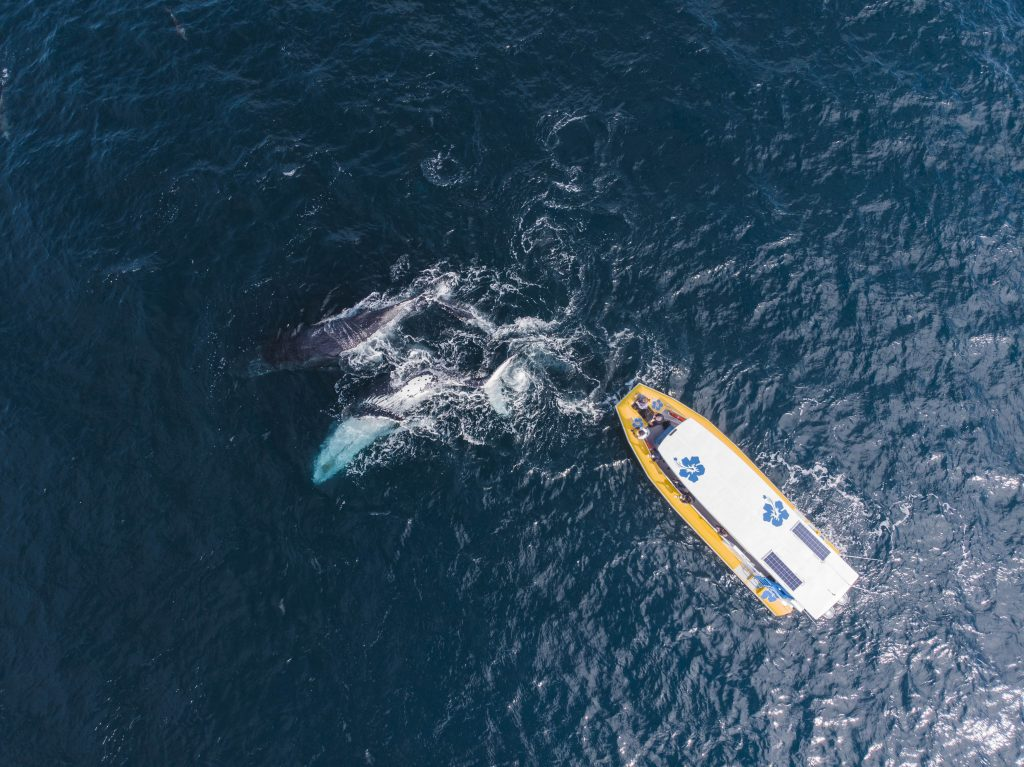 Aerial picture showing a white and yellow speed boat near a pod of whales