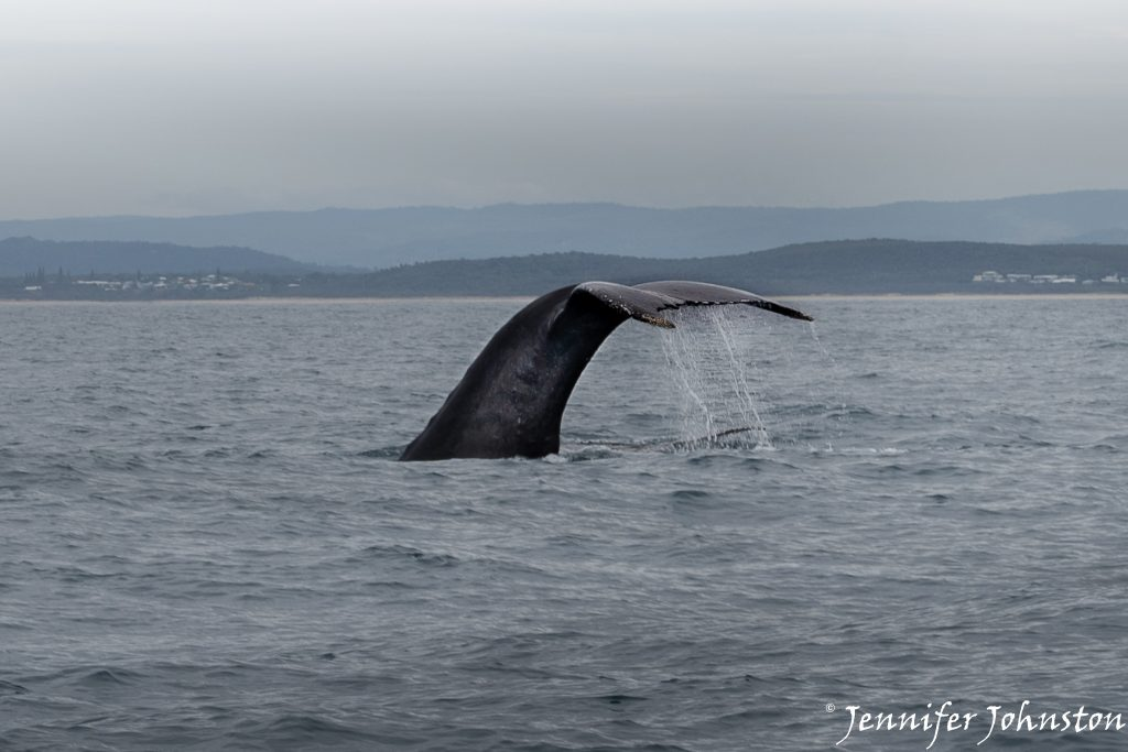 The black tale fluke of a humpback whale