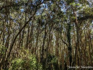 Forest of paperbark trees