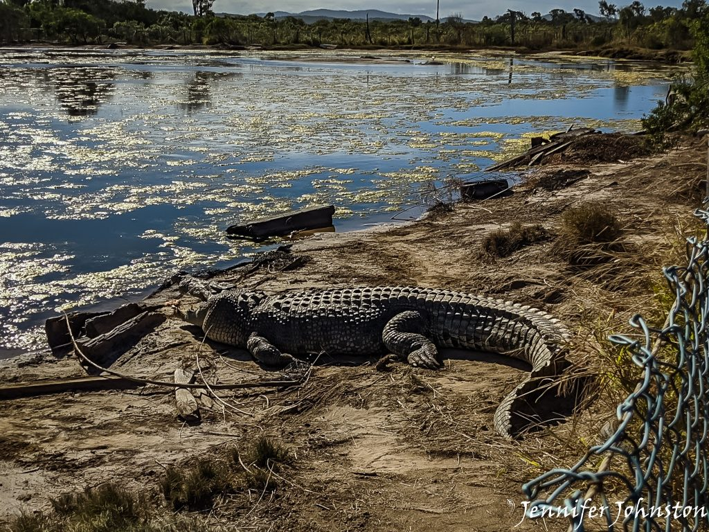 Large saltwater crocodile lies on a sandy beach near water
