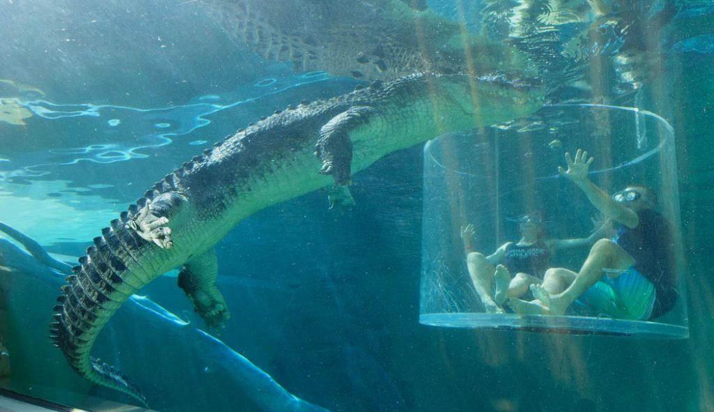 Image of a pespex cylinder submerged under water with two people inside and a large crocodile swimming around the perspex cage in
