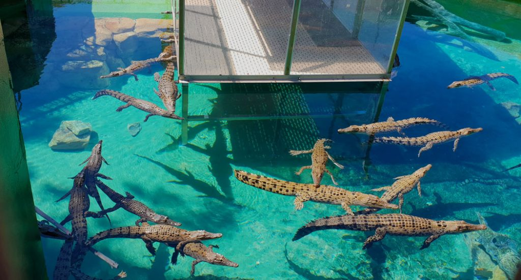 A large tank filled with juvenile saltwater crocodiles