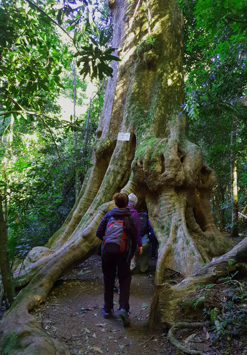 Image showing two women walking beneath the exposed tree roots of a large tree
