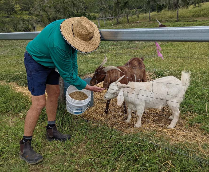 A man with a green shirt and blue shourts and working boots hoding a bucket of maize for two goats behind a wire fence