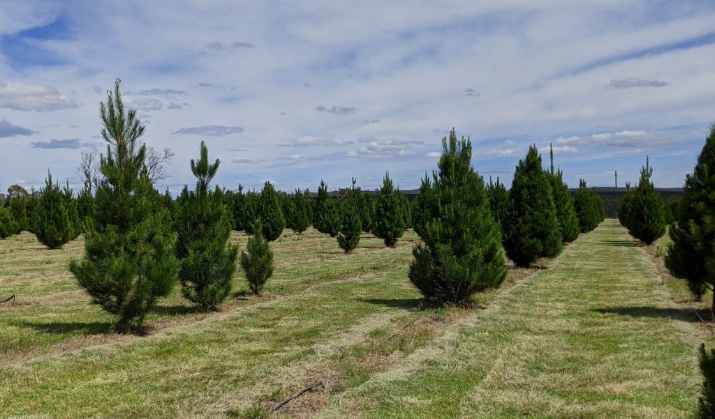 Image of rows of Christmas tree on a farm